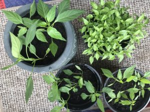 chilli plants from seed
